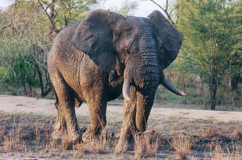 Elephants_du_Kruger