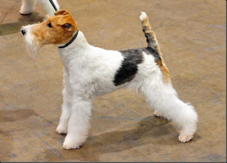 01_Wire_Fox_terrier