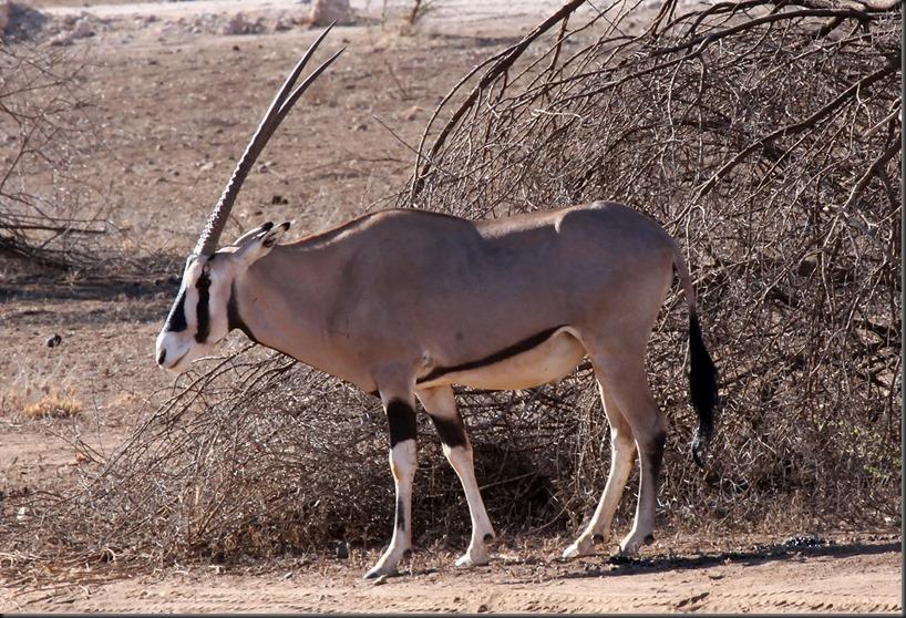 1200px-Oryx_samburu