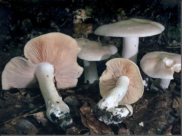 Giftige satijnzwam - Entoloma lividum (YD) 2